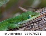 green anole  anolis carolinensis   Shutterstock . vector #339075281