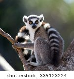 Ring Tailed Lemur Sitting On A...