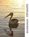 Australian Pelican Swimming At...