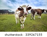 black and brown cows looking at ...   Shutterstock . vector #339267155
