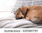 Stock photo cute puppy sleeping on sofa at home 339389795