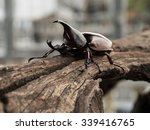 Rhinoceros Beetle  Rhino Beetl...