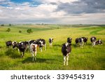 A Herd Of Young Cows And...