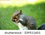Gray Squirrel Chewing A Bone I...