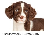 Stock photo head shot portrait of a cute seven week old english springer spaniel puppy dog 339520487