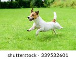 Stock photo happy dog pet running on a lawn funny playing jack russell terrier 339532601