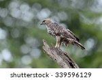 bird  changeable hawk eagle   ... | Shutterstock . vector #339596129