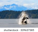 Orca Breaching  In Discovery...