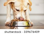 Stock photo hungry labrador retriever is feeding at home 339676409