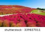 beautiful kochias hill in... | Shutterstock . vector #339837011