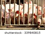 young pig at pigsty in pig farm  | Shutterstock . vector #339840815