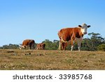 Two cows grazing, and one closer cow looking at the camera - stock photo