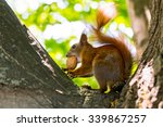 Red Squirrel With A Walnut On...