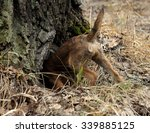 hunting dog young border... | Shutterstock . vector #339885125