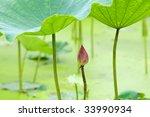 The Lotus Bud And The Lotus...