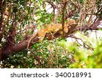 Sleeping Lion On A Tree In...