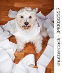 Stock photo white bad fluffy schnauzer dog playing in a roll of toilet paper 340032557