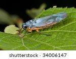 macro shot of a leafhopper | Shutterstock . vector #34006147