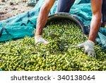 Harvesting Olives In Sicily...