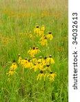 Yellow Prairie Coneflower In...
