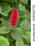 Small photo of Dwarf Chenille's cute red flower(Acalypha reptans)