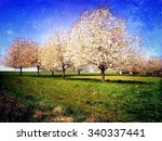 Blooming Apple Trees In Spring