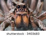 A Female Wolf Spider Is Posing...