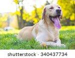 Happy Young Labrador