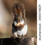 Small photo of American Red Squirrel Sitting on Stump and Eating Peanut in Fall