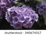 purple hydrangea | Shutterstock . vector #340674317