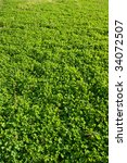 green grass in the field   a... | Shutterstock . vector #34072507