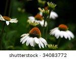 White Coneflowers
