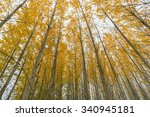 Poplar Tree Grove Canopy In...