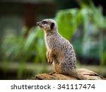 meerkat 2 | Shutterstock . vector #341117474