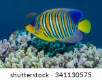 Small photo of Regal angelfish {Pygopllites diacanthus} in profile against a coral reef background. Red Sea, Egypt. June