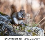 American Red Squirrel Sitting...