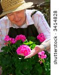 Senior woman with a pot of geranuim flowers in her garden, focus on hand and flowers - stock photo