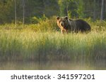close up wild  big  brown bear  ... | Shutterstock . vector #341597201