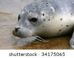 Baby spotted Seal (Phoca largha) in a zoo in Holland - stock photo