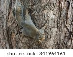 Gray Squirrel Clinging To A...
