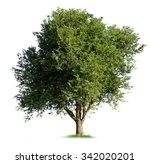 isolated tamarind tree on white ... | Shutterstock . vector #342020201