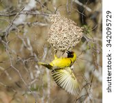 Small photo of Village weaver nesting in Kruger national park, South Africa ; Specie Ploceus cucullatus family of Ploceidae