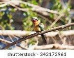 white fronted bee eater  merops ... | Shutterstock . vector #342172961