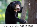 Malayan Sun Bear On Tree ...
