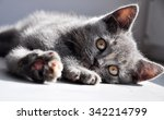 british kitten | Shutterstock . vector #342214799