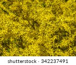 Blooming Forsythia Bush As The...