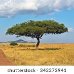 Large Acacia Tree In The Open...