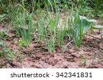 Onion Plant In Garden