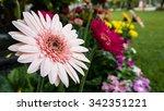 beautiful gerbera flower on the ... | Shutterstock . vector #342351221