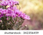 pink chrysanthemum flowers in... | Shutterstock . vector #342356459